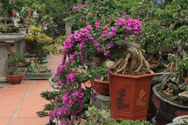 Khuyến khích trồng hoa giấy trong chậu