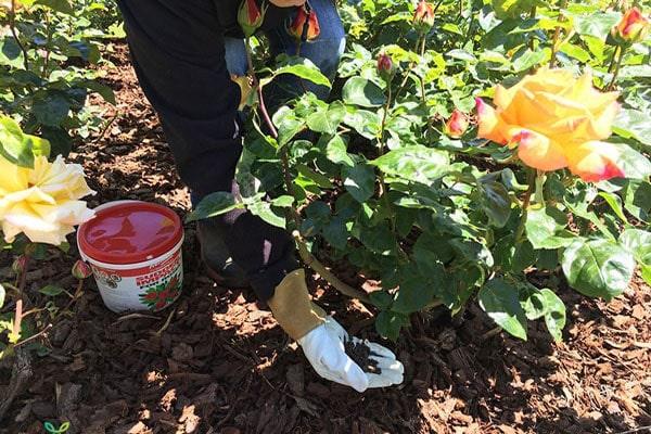 Bón phân cho cây hoa hồng khi trồng