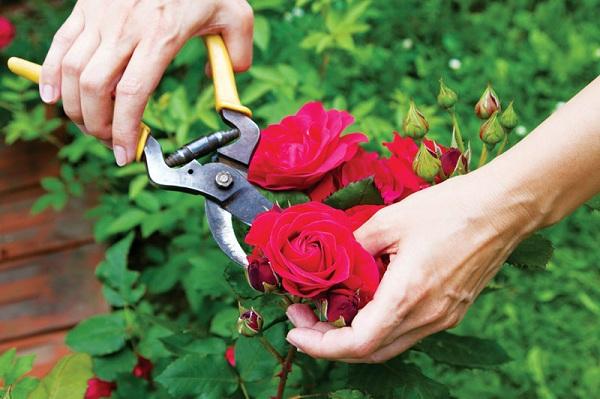 Cắt tỉa đúng kỹ thuật để giúp hoa hồng phát triển tốt nhất