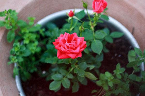 Hoa hồng ưa ánh sáng nên cần chú ý độ thông thoáng, ánh nắng